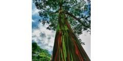 Самое яркое дерево на Земле